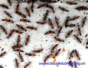 Diệt kiến ba khoang tại Hưng Yên