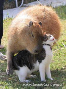 Giống chuột khổng lồ và những sở thích kỳ quặc