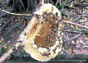 Cách bắt ong mật tự nhiên
